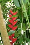 Flores exóticas de um Heliconia Foto de Stock