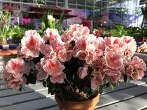 Flores exóticas rosas claras brillantes de las plantas del rododendro foto de archivo