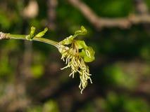 Flores fêmeas no bordo cinza-com folhas do ramo, negundo de Acer, macro com fundo do bokeh, foco seletivo, DOF raso fotografia de stock