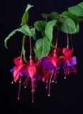 Flores fúcsia Fotografia de Stock Royalty Free