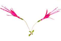 Flores fúcsia agradáveis imagem de stock royalty free