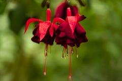 Flores fúcsia de suspensão no jardim Flor fúcsia do magellanica naughty imagem de stock