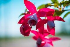 Flores fúcsia exteriores, flor colorida bonita, fundo de madeira ascendente próximo de Flor do fúcsia Fotos de Stock