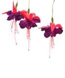 Flores fúcsia isoladas Fotografia de Stock Royalty Free