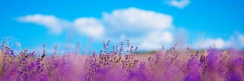 Flores fabulosas fantásticas alpinas do tapete bonito da flor das vilas e dos prados da montanha - açafrão shafrany Oni carregado Fotos de Stock Royalty Free