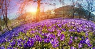 Flores fantásticas - açafrão Imagem de Stock Royalty Free