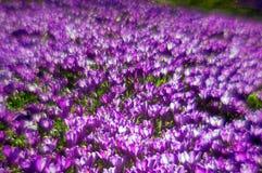 Flores fantásticas - açafrão Foto de Stock