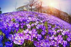 Flores fantásticas - açafrão Imagens de Stock Royalty Free