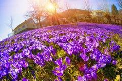 Flores fantásticas - açafrão Fotografia de Stock Royalty Free