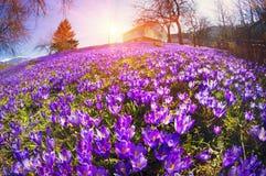 Flores fantásticas - açafrão Fotos de Stock Royalty Free