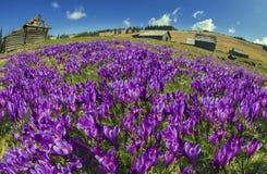Flores fantásticas - açafrão Foto de Stock Royalty Free