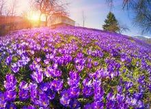 Flores fantásticas - açafrão Fotos de Stock