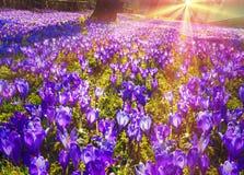 Flores fantásticas - açafrão Fotografia de Stock