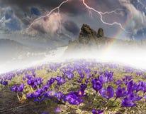 Flores fantásticas - açafrões Fotos de Stock