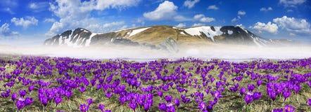 Flores fantásticas - açafrões Imagem de Stock Royalty Free