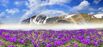 Flores fantásticas - açafrões Foto de Stock