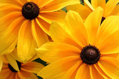 Flores felizes do amarelo da luz do sol Fotos de Stock Royalty Free