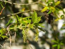 Flores femeninas en el arce ceniza-con hojas de la rama, negundo de Acer, macro con el fondo del bokeh, foco selectivo, DOF bajo Imágenes de archivo libres de regalías