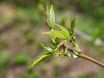 Flores femeninas en el arce ceniza-con hojas de la rama, negundo de Acer, macro con el fondo del bokeh, foco selectivo, DOF bajo Fotografía de archivo libre de regalías