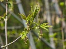 Flores femeninas en el arce ceniza-con hojas de la rama, negundo de Acer, macro con el fondo del bokeh, foco selectivo, DOF bajo Fotos de archivo