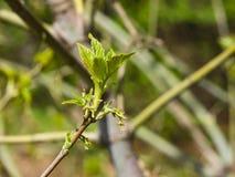 Flores femeninas en el arce ceniza-con hojas de la rama, negundo de Acer, macro con el fondo del bokeh, foco selectivo, DOF bajo Foto de archivo