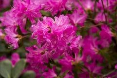 Flores finas del ` de Ostara del ` del rododendro Fotos de archivo libres de regalías