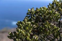 Flores/flora nas dunas: Plantas de gelo de arrasto nas inclina??es arenosas da duna imagem de stock royalty free
