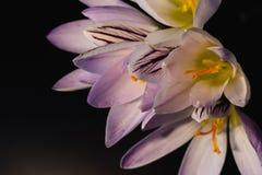Flores, floración púrpura de las azafranes almacen de metraje de vídeo