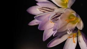 Flores, floración púrpura de las azafranes Cine 4K del formato almacen de metraje de vídeo