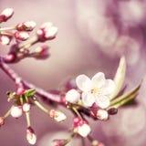 Flores florais da cereja da mola do fundo de Defocus Imagens de Stock Royalty Free