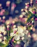 Flores florais da cereja da mola do fundo de Defocus Imagens de Stock