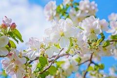 Flores florais da mola do fundo da florescência Fotografia de Stock