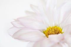 Flores florales de Daisy Flower White Yellow Daisies fotografía de archivo