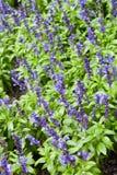 Flores florecidas de la lila Fotografía de archivo