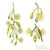Flores florecientes amarillas australianas del gumtree libre illustration