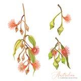 Flores florecientes australianas del árbol de goma libre illustration