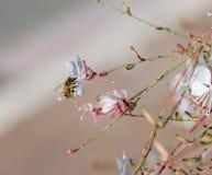 Flores florecientes de exploración de la abeja Fotografía de archivo libre de regalías