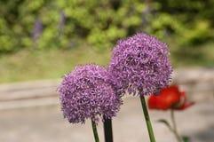 Flores florecientes de Giganteum del allium en verano imagenes de archivo