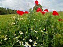 flores florecientes de la amapola y de la manzanilla foto de archivo