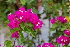 Flores florecientes de la buganvilla Imágenes de archivo libres de regalías