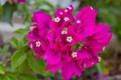 Flores florecientes de la buganvilla Imagenes de archivo