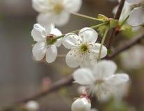 Flores florecientes de la cereza cerca para arriba Foto de archivo libre de regalías