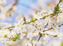 Flores florecientes de la cereza de la primavera Foto de archivo libre de regalías