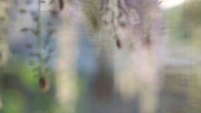 Flores florecientes de la glicinia metrajes