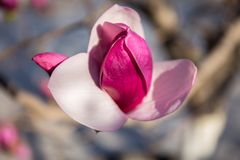 Flores florecientes de la magnolia en la magnolia de ŒPurple del ¼ del springï imagen de archivo
