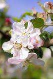 Flores florecientes de la manzana fotografía de archivo libre de regalías