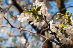Flores florecientes de la manzana con la abeja Imagenes de archivo