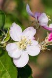 Flores florecientes de la manzana en huerta fotos de archivo