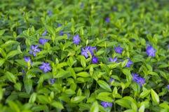 Flores florecientes de la primavera del bígaro Imágenes de archivo libres de regalías