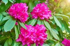 Flores florecientes del adelfa en jardín Primavera del flor fotos de archivo
